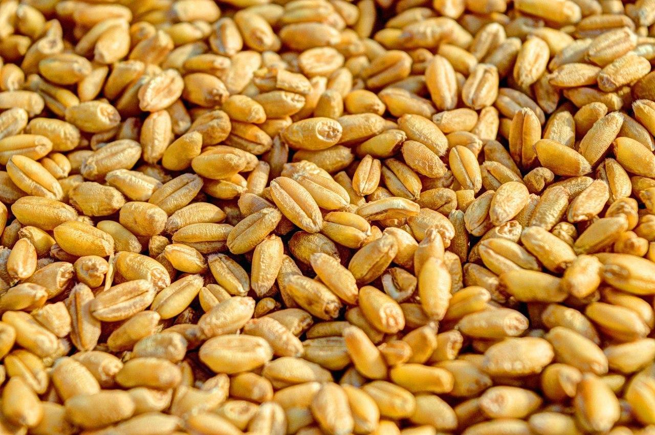 Украина стала победителем тендера на поставку 60 тысяч т пшеницы в Египет