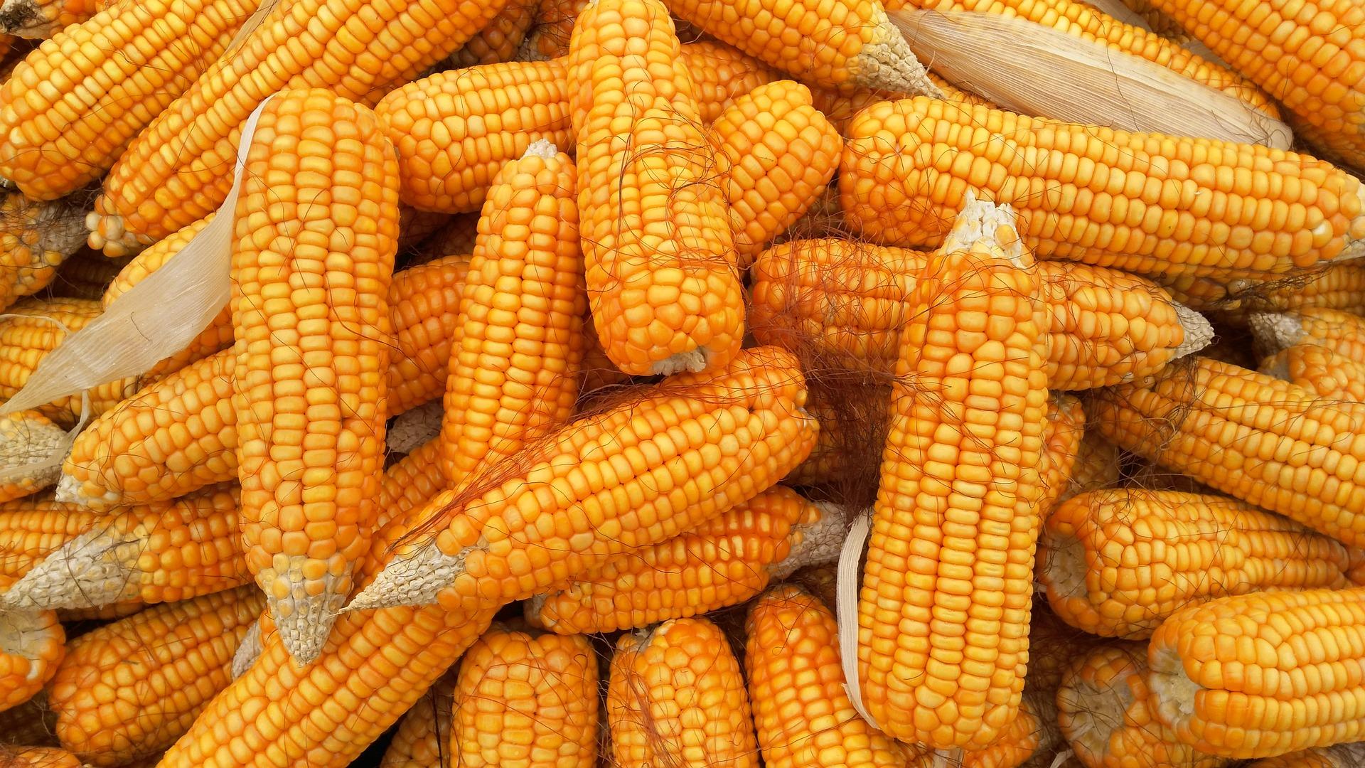 Прогноз зміни цін на кукурудзу у 2019 році