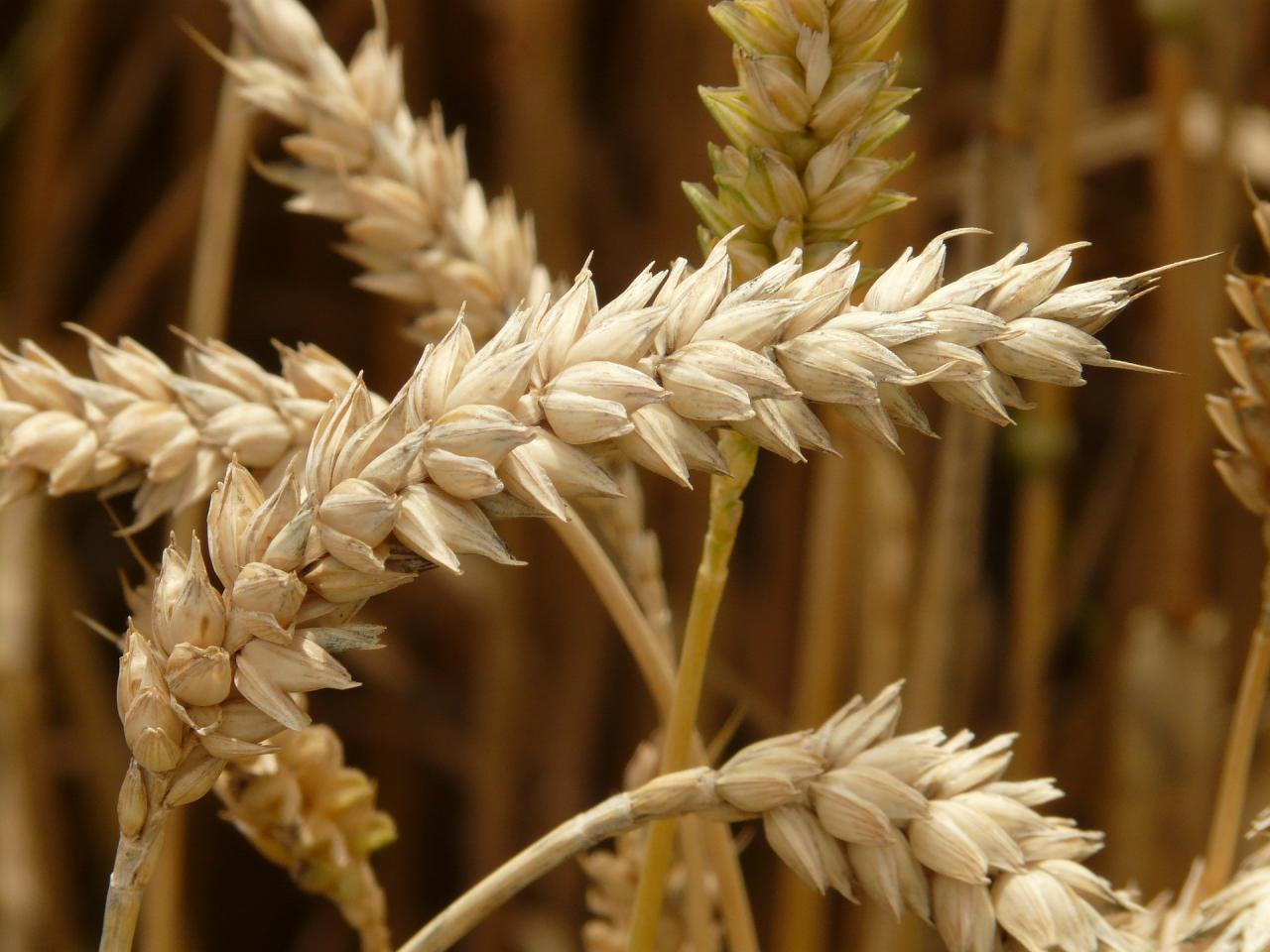Новый стандарт на пшеницу ДСТУ 3768:2019 вступит в силу с 10 июня