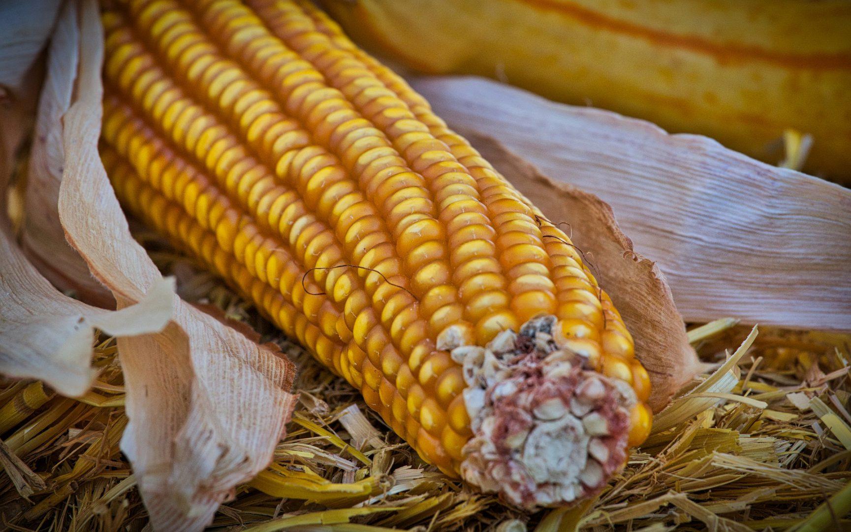 В Украине все больше площадей выделяют под кукурузу