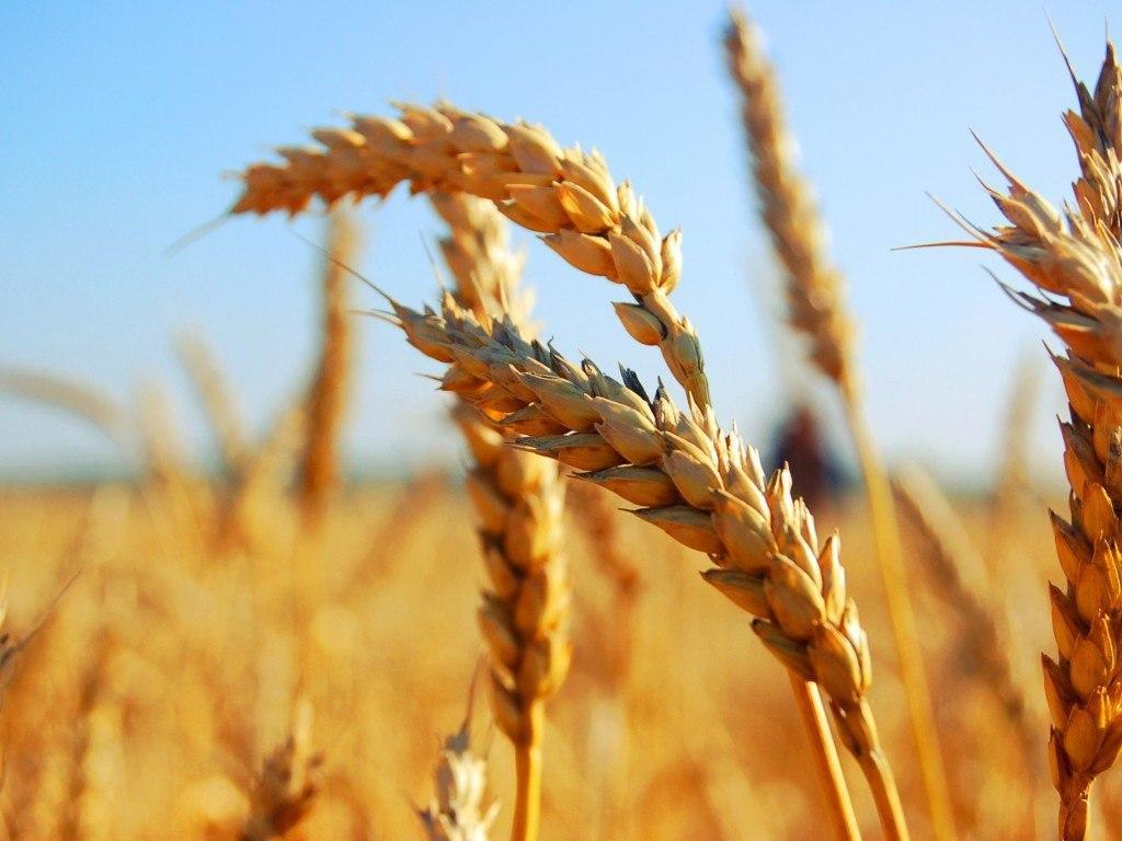 Українська пшениця може компенсувати низький експорт австралійського зерна